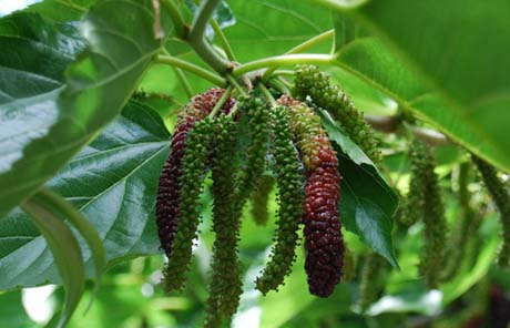 Mulberry-Root-Extract